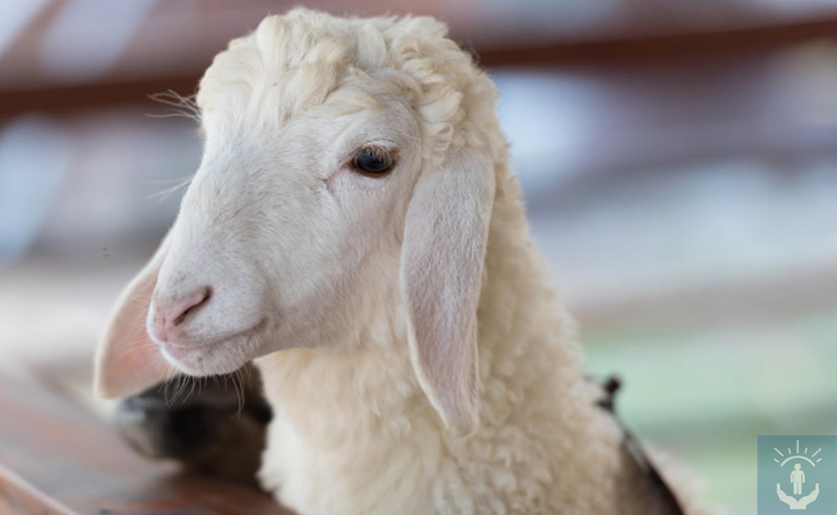 Инстинкт овцы. Как не быть съеденным из-за стадного чувства? - АландМед